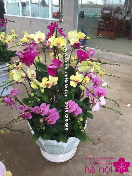 Chậu hoa lan hồ điệp ngày xuân