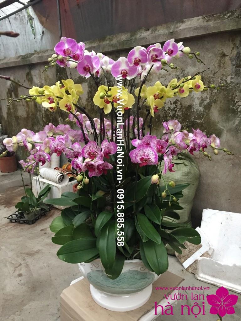 chau-lan-ho-diep-da-sac-30-canh (2)