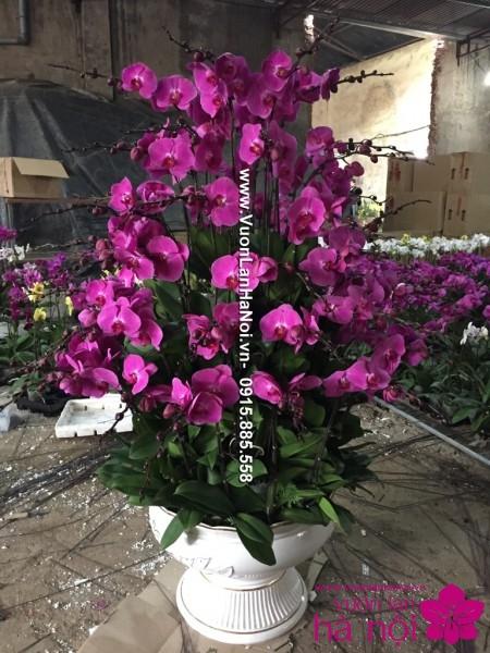 Hoa lan hồ điệp Tết màu tím